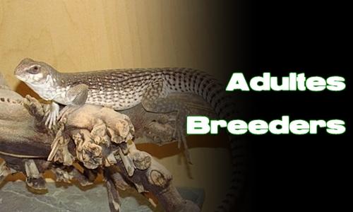 Élevages Lisard - Dipsosaurus dorsalis - Adultes