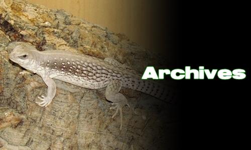 Élevages Lisard - Dipsosaurus dorsalis - Archives