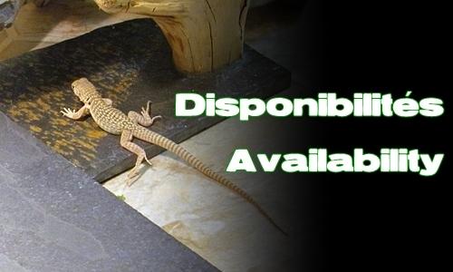 Élevages Lisard - Dipsosaurus dorsalis - Disponibilites
