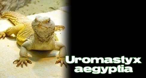 Élevages Lisard - Uromastyx Égyptien / Egyptian Uromastyx / Uromastyx aegyptia