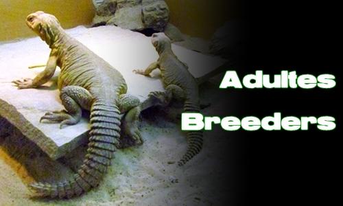 Élevages Lisard - Uromastyx aegyptia - Adultes