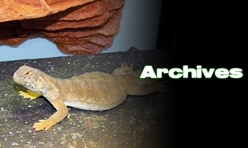 Élevages Lisard - Uromastyx aegyptia - Archives
