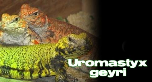 Élevages Lisard - Uromastyx du Niger / Saharan Uromastyx / Uromastyx geyri
