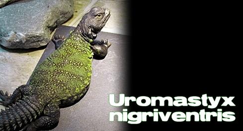 Élevages Lisard - Uromastyx du Maroc / Moroccan Uromastyx / Uromastyx nigriventris
