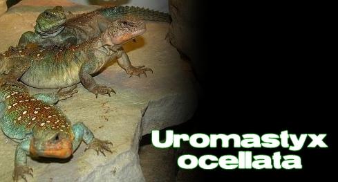 Élevages Lisard - Uromastyx du Soudan / Sudanese Uromastyx / Uromastyx ocellata