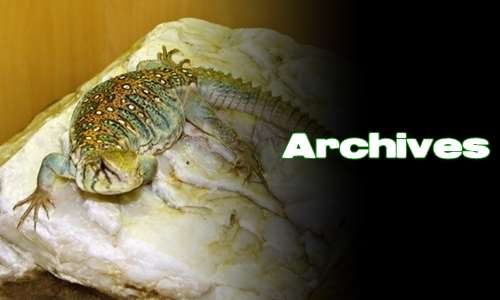 Élevages Lisard - Uromastyx ocellata - Archives