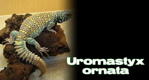 Élevages Lisard - Uromastyx orné / Ornate Uromastyx / Uromastyx ornata