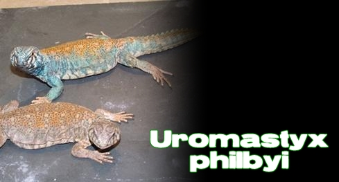Élevages Lisard - Uromastyx bleu d'Arabie / Arabian Blue Uromastyx / Uromastyx ornata philbyi