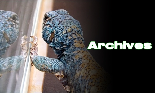 Élevages Lisard - Uromastyx philbyi - Archives