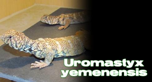 Élevages Lisard - Uromastyx du Yémen/ Rainbow Uromastyx / Uromastyx yemenensis