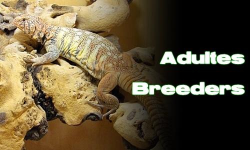 Élevages Lisard - Uromastyx yemenensis - Adultes