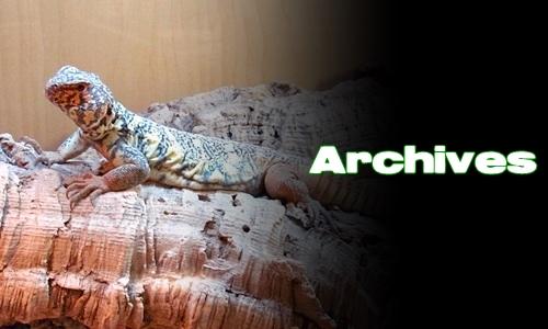 Élevages Lisard - Uromastyx yemenensis - Archives