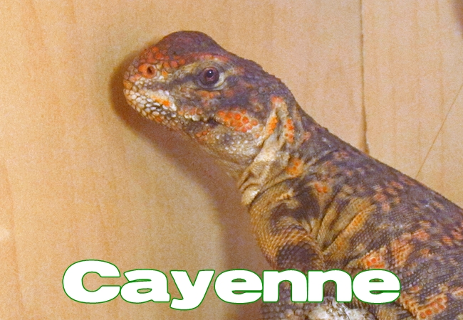 Cayenne - Uromastyx geyri