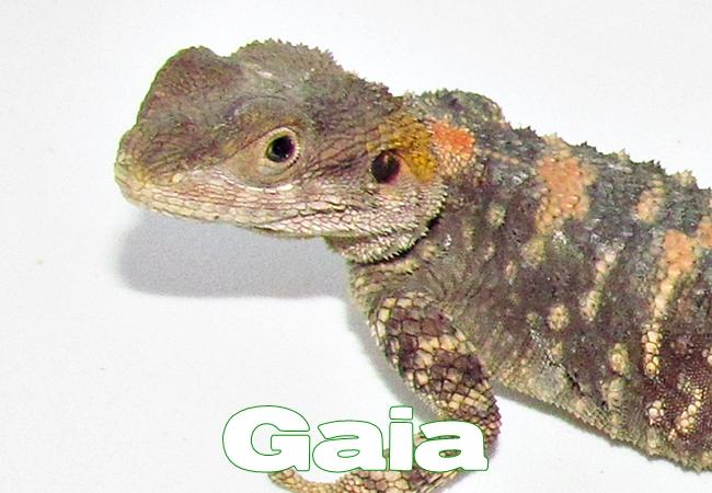 Gaia - Agame peint - Laudakia stellio salehi