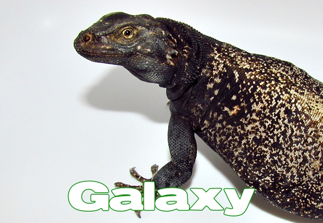 Galaxy - Sauromalus ater