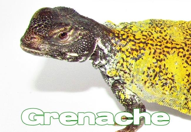 Grenache - Uromastyx nigriventris
