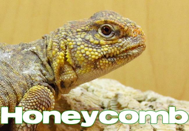 Honeycomb - Uromastyx geyri