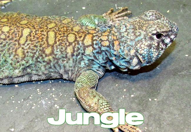 Jungle - Uromastyx philbyi