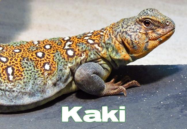 Kaki - Uromastyx ocellata