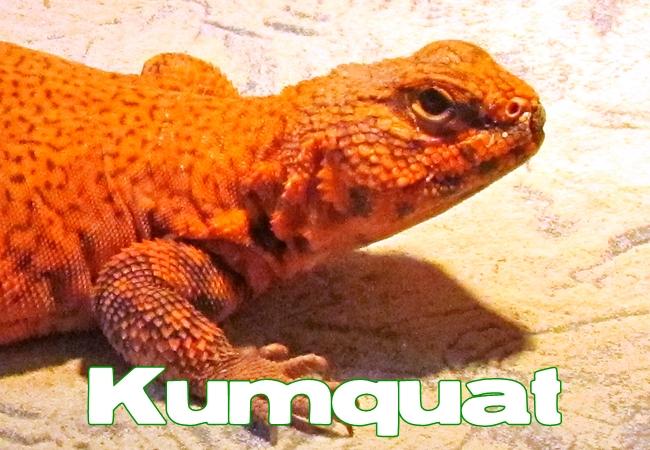 Kumquat - Uromastyx geyri