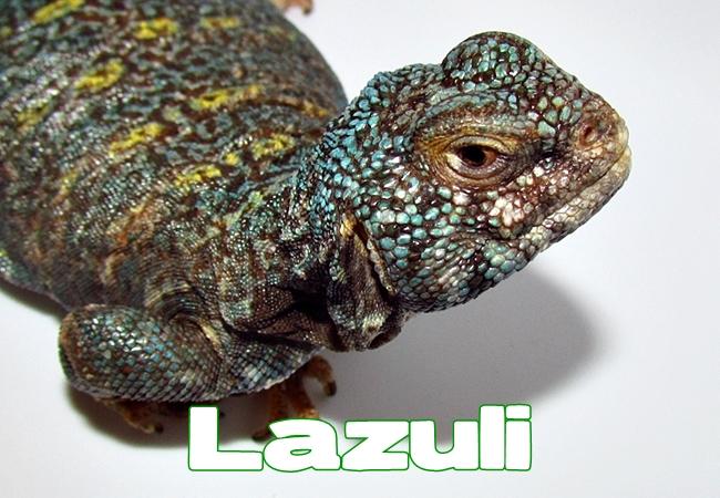 Lazuli - Uromastyx ornata ornata
