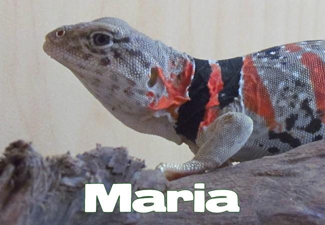 Maria - Lézard à collier du désert - Crotaphytus bicinctores