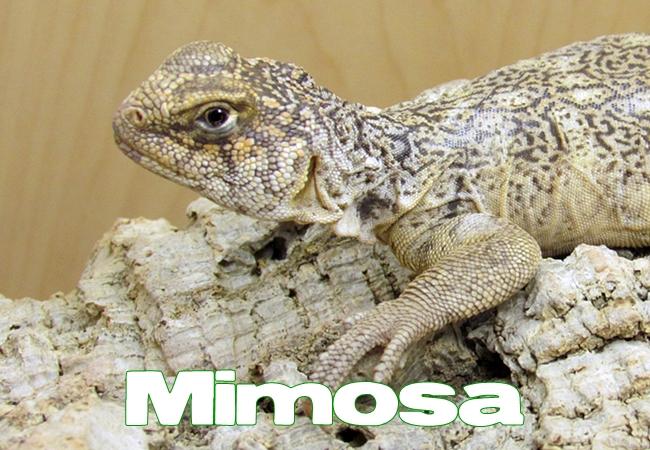 Mimosa - Uromastyx yemenensis