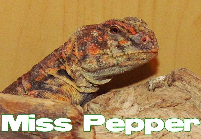 Miss Pepper - Uromastyx geyri