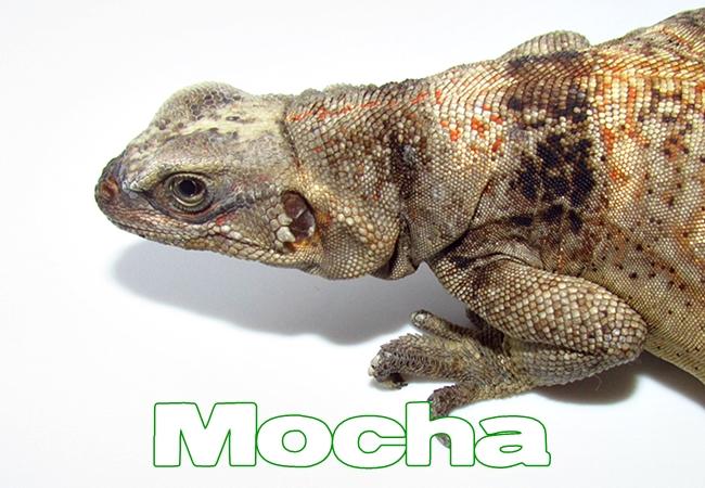 Mocha - Sauromalus ater