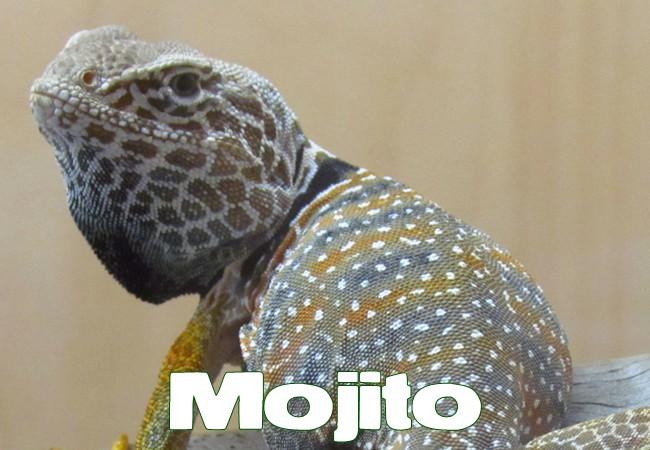 Mojito - Lézard à collier du désert - Crotaphytus bicinctores