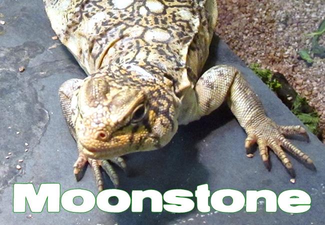 Moonstone - Uromastyx yemenensis