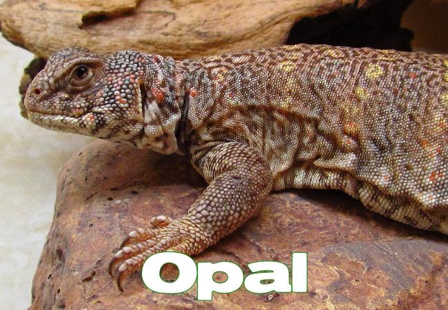 Opal - Uromastyx ornata ornata