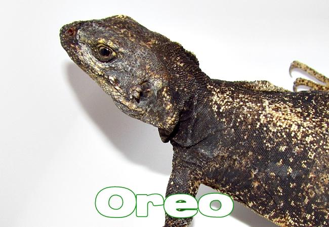 Oreo - Sauromalus ater