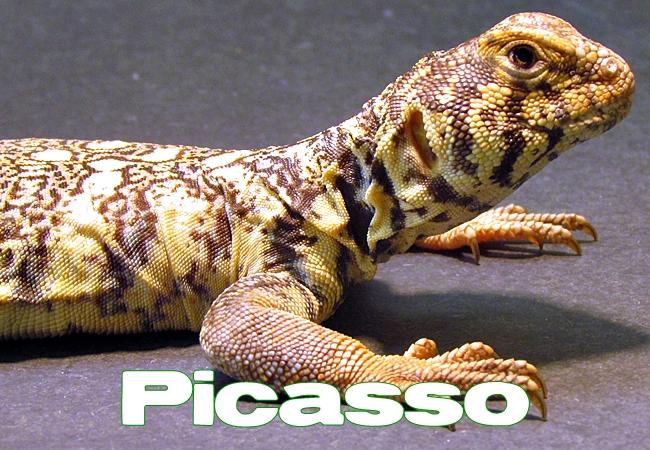 Picasso - Uromastyx yemenensis