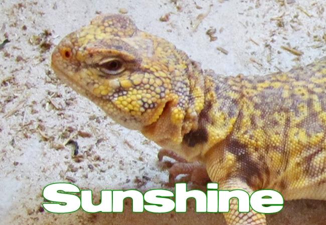 Sunshine - Uromastyx geyri