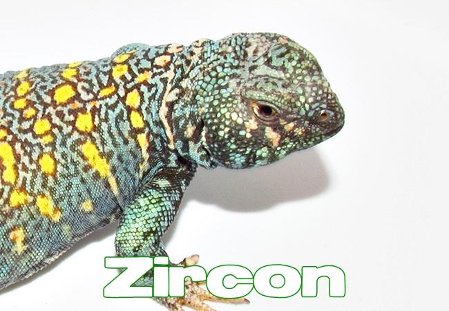 Zircon - Uromastyx ornata ornata