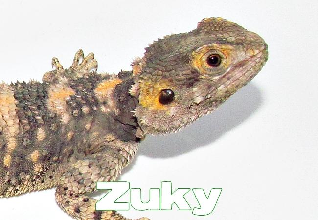 Zuky - Agame peint - Laudakia stellio salehi